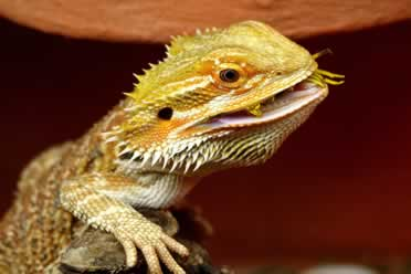 3 Reasons Behind Bearded Dragons Licking (Detailed)