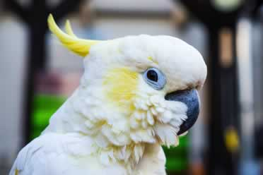 Are Cockatoos Good for Beginners? (What You Need to Know)