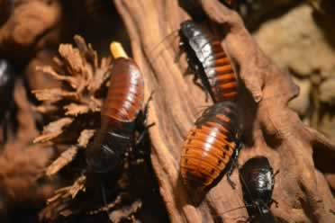 Are Hissing Cockroaches Dangerous? Do They Bite?