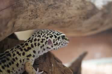 Are Leopard Geckos Affectionate? (Checked Out)