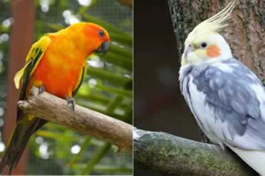 Can A Conure And Cockatiel Live Together? (Checked Out)