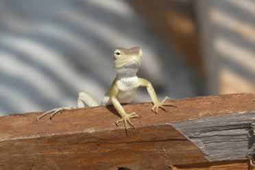 Can a Lizard Crawl on Your Bed? (In Detail)