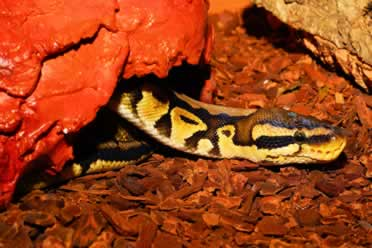 Can Ball Pythons Hear Sound? (In Detail)