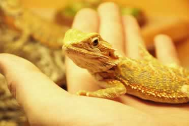 Can Bearded Dragons Eat Avocado? What You Must Know!