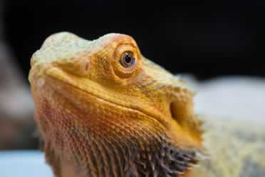 Can Bearded Dragons Eat Broccoli? Essential Info