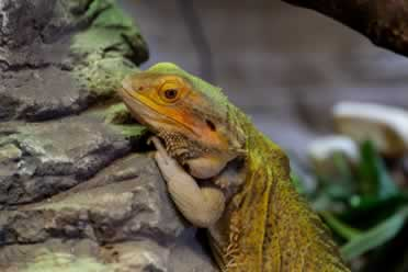 Can Bearded Dragons Eat Carrots? (In Detail)