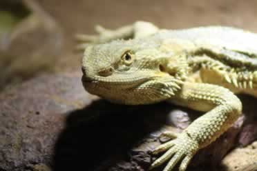 Can Bearded Dragons Eat Celery? [Truths from Experience]