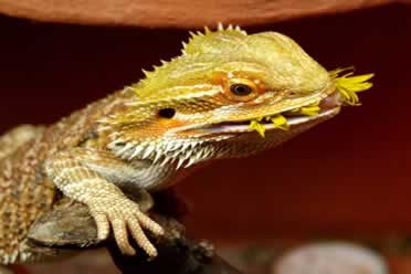 Can Bearded Dragons Eat Dandelion Greens? What You Must Know!