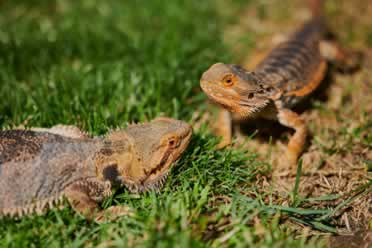 Can Bearded Dragons Eat Lavender? (Interesting Facts)