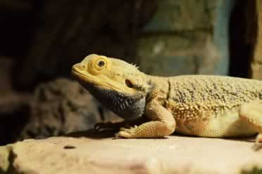 Can Bearded Dragons Hear Sounds?