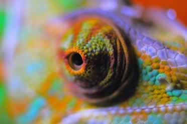 Can Chameleons See in the Dark? (Shocking Info)