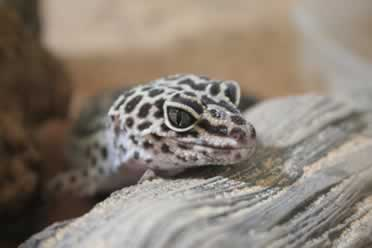 Can Leopard Geckos Get Depressed? (What You Need To Know)