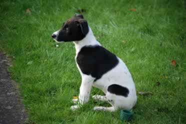 Can Lurchers Sit? (Important Information)