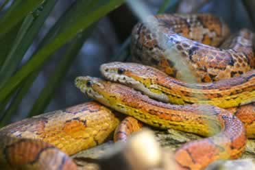 Can Two Corn Snakes Live Together? (Shocking Facts)