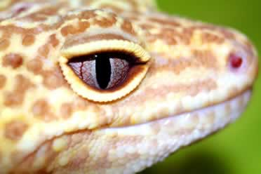 Can Two Leopard Geckos Live Together? (Explained)