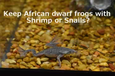 African Dwarf Frogs With Shrimp Or Snails? (Safety Advice)