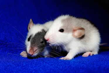 Pet Rats: Tips on leaving them alone whilst on vacation