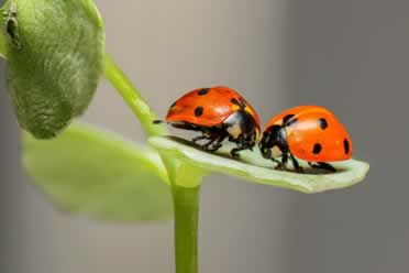 Can You Really Keep Ladybugs as Pets? (Important Info)