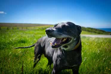 Lurchers: 9 Amazing Things You Should Know