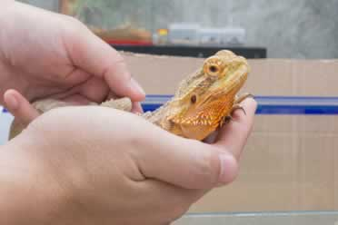 Do Bearded Dragons Actually Enjoy Cuddling or Being Held?