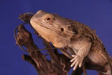 Do Bearded Dragons Drink Water? (A to Z)