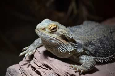 Do Bearded Dragons Like Blankets (Shocking Facts)