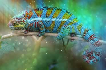 Do Chameleons Change Color To Match Their Environment? (In Detail)
