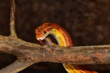 Do Corn Snakes Like To Climb? (In Detail)