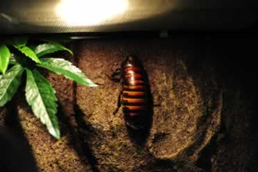 Do Hissing Cockroaches Need Heat? Care Essentials