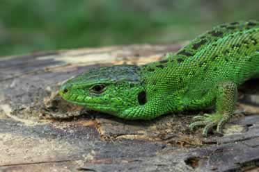 Do Lizards Drink Water? (Interesting Facts)
