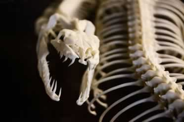 Do Snakes Have Bones in Their Body?