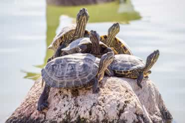 Do Turtles Have Tails? (Secret Reasons Behind It)