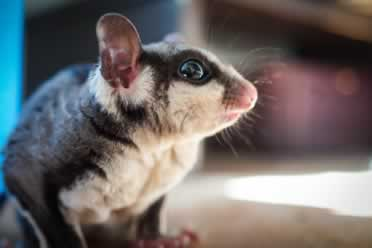 Sugar Glider Noises (Barking Checked Out)