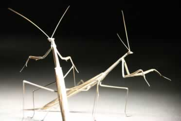 How Do Stick Insects Die? 4 Things To Watch Out For