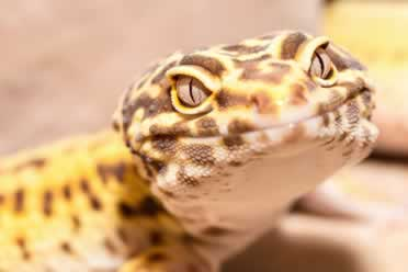 How Do You Humanely Kill a Leopard Gecko? (Detailed Guide)