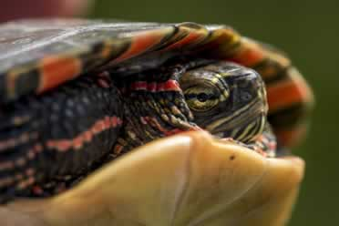 How Hard Is a Turtle Shell? (You Can't Guess)