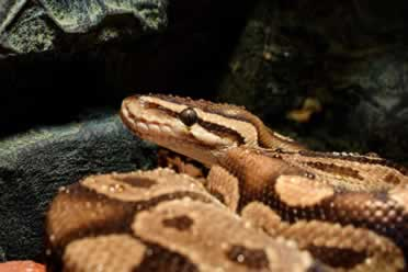 How Long Can a Ball Python Snake Go Without Eating? (Facts Behind It)