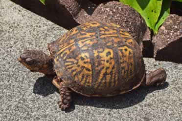 How Long Can Box Turtles Go Without Water? (Learn Everything)