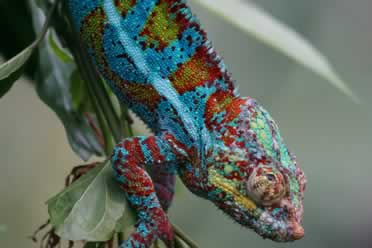 How Long Does a Panther Chameleon Live? (Lifespan Guide)