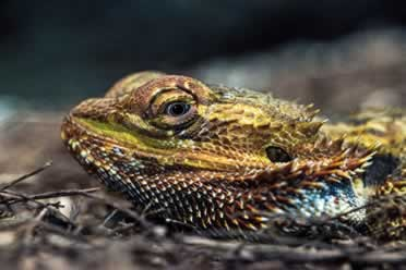 How Smart Is Your Bearded Dragon? (Interesting Facts)
