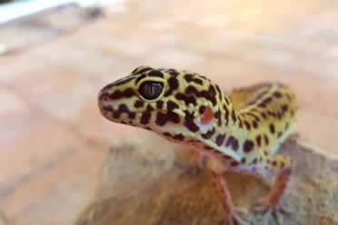 How To Incubate Leopard Gecko Eggs Without Using an Incubator? (A to Z)