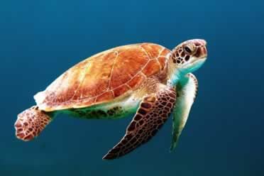 Is a Sea Turtle an Amphibian or Reptile? (Amazing Facts)