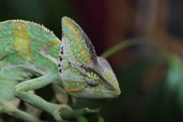 Is My Chameleon Dead or Sleeping? (What You Must Know)