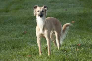 Should Lurchers Be Muzzled? (Very Important Info)