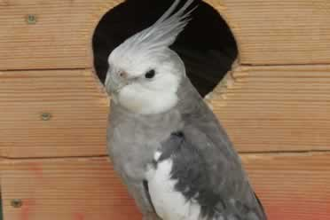 What Birds Can Be Kept With Cockatiels? (Amazing Facts)
