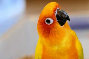 What Does It Mean When A Conure Dances? (Amazing Facts)
