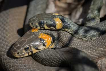 What Happens If You See Snakes Mating In Real Life?