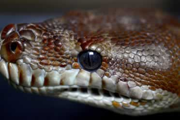 What Is a Lesser Ball Python? (Learn Everything)