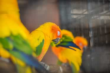 Why Do Conures Lick Me? (Fascinating Facts)