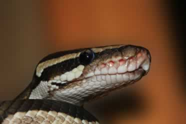 Ball Pythons: 10 Things You Should Know (Very Important)